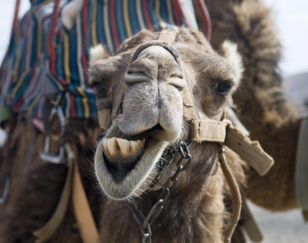 camel-canary-islands