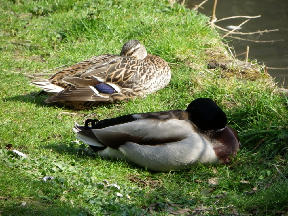 sleeping-ducks